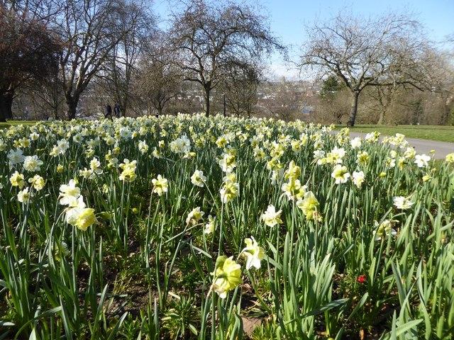 Daffodils in Victoria Park