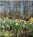 TQ2897 : Daffodils and Bluebells, Trent Park, London N14 by Christine Matthews