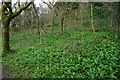 SS5185 : Wild garlic in Oxwich Wood by Bill Boaden