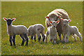 SS2323 : Torridge : Sheep & Lambs by Lewis Clarke