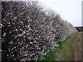 SK5030 : Blackthorn hedge in flower by Ian Calderwood