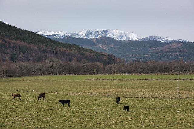 Cattle near Newton of Tullich