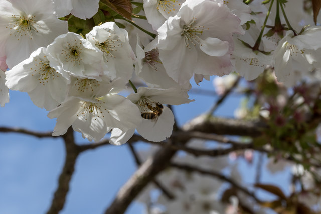 Bee on Cherry Blossom, London N14
