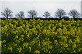 TA2338 : Rape and trees, near Aldbrough by Paul Harrop