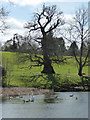 SO7488 : Dudmaston Hall - dramatic tree by Chris Allen
