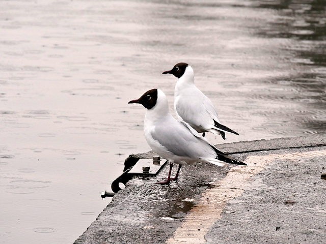 Black Headed Gulls at Llandrindod Lake