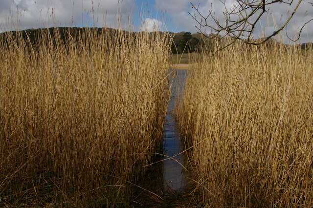 Reed beds on the Loe