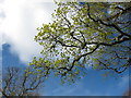 SW8339 : Young oak leaves, Trelissick  by David Hawgood