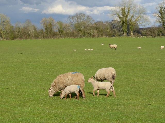 Sheep with lambs, Teach Lea
