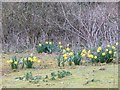 SU4886 : Daffodils & Brambles by Bill Nicholls