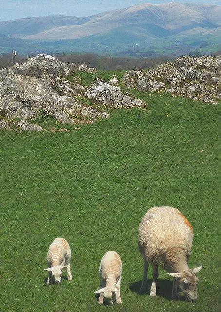 Sheep on limestone near Wood End