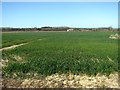 TG0527 : Wheat crop field west of Hindolveston Road by Evelyn Simak