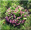 TG0530 : Primroses (Primula vulgaris) by Evelyn Simak