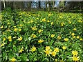 NZ1165 : Celandine carpet, West Wood by Andrew Curtis