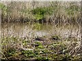 SS2005 : Canada goose nesting, Bude Canal nature reserve by David Smith