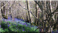 SY5786 : Bluebells in Broad Coppice, near Abbotsbury by Becky Williamson