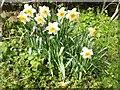 SO8643 : Daffodils in Kinnersley by Philip Halling