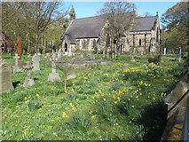 SD2806 : St Luke's churchyard with daffodils by David Hawgood