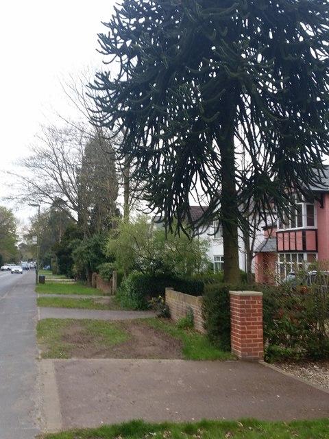 Monkey Puzzle tree, Park Road, Camberley