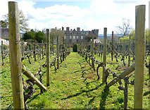 SO4465 : Small vineyard at Croft Castle by Graham Hogg
