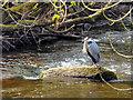 SO0428 : Grey Heron (Ardea cinerea) on the River Honddu at Brecon by David Dixon