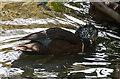 TQ2276 : Duck, Wetlands Centre, Barnes by Christine Matthews