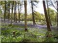 ST6763 : Stantonbury Hill bluebells by Neil Owen