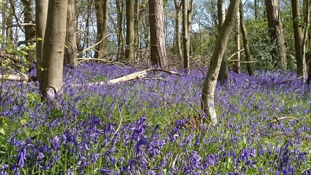 Bluebells in Barn Wood