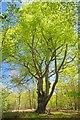 TQ4096 : A Stunning Beech Pollard in Long Hills by Glyn Baker
