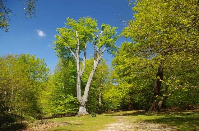 Magnificent Beech Pollard in Hill Wood