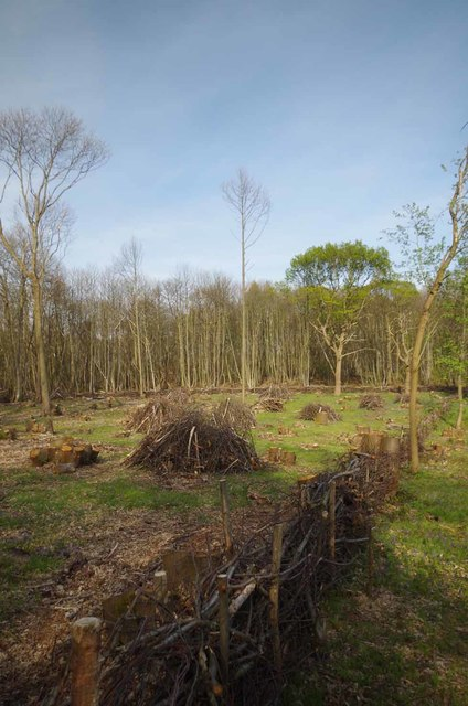 A Newly Coppiced Area in Norsey Wood
