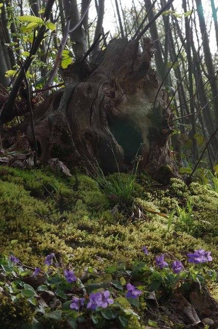 Violets & Mossy Stump