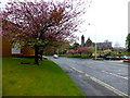 H4572 : Flowering cherry trees, Dublin Road, Omagh by Kenneth  Allen