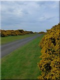 NS2006 : Gorse by the track to Turnberry lighthouse by Gordon Brown