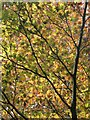 SX9065 : Copper beech leaves, Chapel Hill Pleasure Grounds by Derek Harper