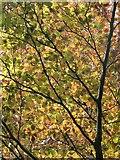 SX9065 : Copper beech leaves, Chapel Hill Pleasure Grounds by Derek Harper