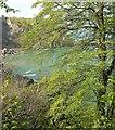 SX9364 : Beech above Anstey's Cove by Derek Harper