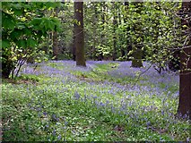 SE6301 : Bluebells in the trees at Yorkshire Wildlife Park by Graham Hogg