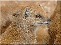 SE6301 : Mongoose at Yorkshire Wildlife Park by Graham Hogg