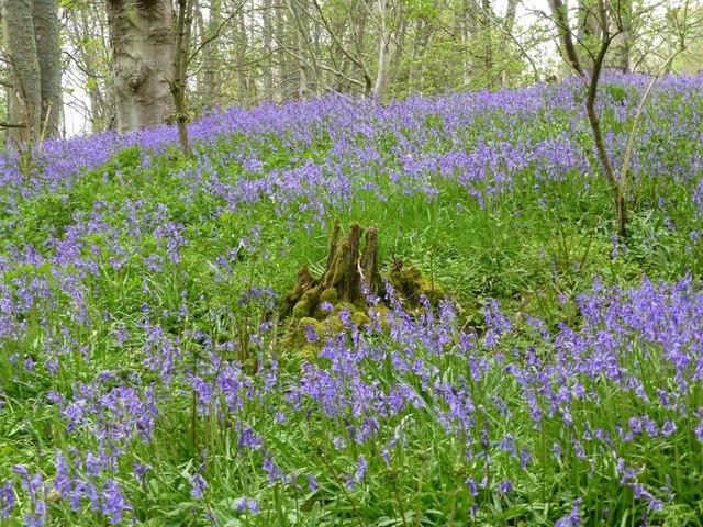Bluebells in Ferny Wood