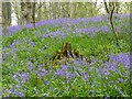 NT9304 : Bluebells in Ferny Wood by Russel Wills
