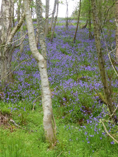 Bluebells beside the path