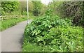 SX9066 : Giant Hogweed near Barton landfill by Derek Harper