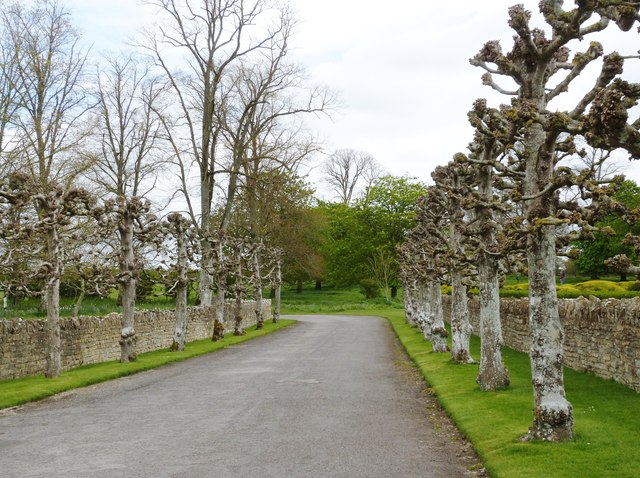 Avenue of old pollarded  trees, Lytes Cary Manor, Somerset
