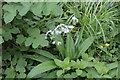 SH6071 : Wild Garlic (Allium ursinum) by Richard Hoare