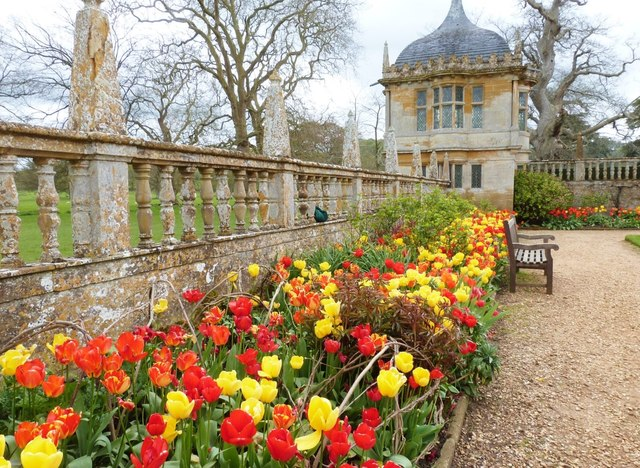 Fine display of tulips in the formal garden at Montacute House