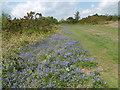 TQ4729 : Bluebells next to The Wealdway by Marathon