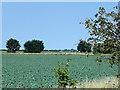 TF3230 : Cabbage (?) Field by David Dixon