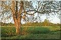 SX9792 : Ash tree in the Clyst valley by Derek Harper