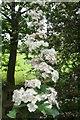 TL6601 : Hawthorn Blossom by Glyn Baker